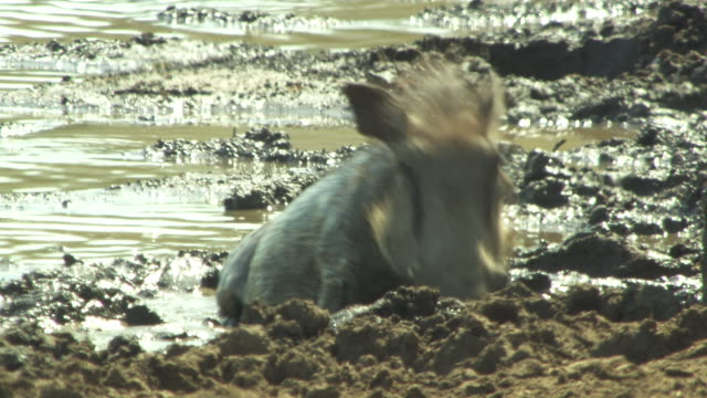A warthog wallows in a muddy watering hole.
