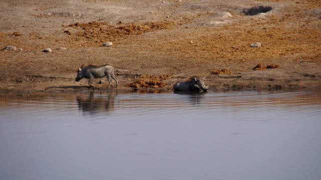 MS TS Warthogs on riverbank / Namibia