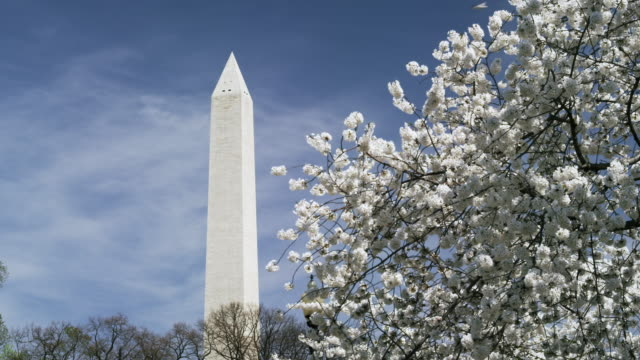 Washington Monument with cherry blossoms in real time.