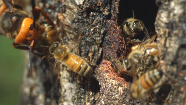 Wasp attacks Honey Bee on the tree trunk