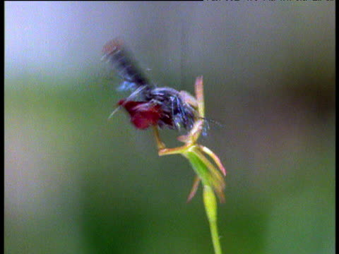 Wasp attempts to mate with hammer orchid which mimics female wasp, Australia