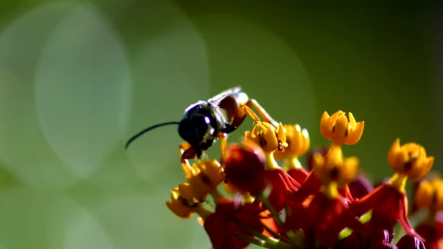 A wasp collects pollen from a yellow flower and carries it away with its legs. Available in HD.