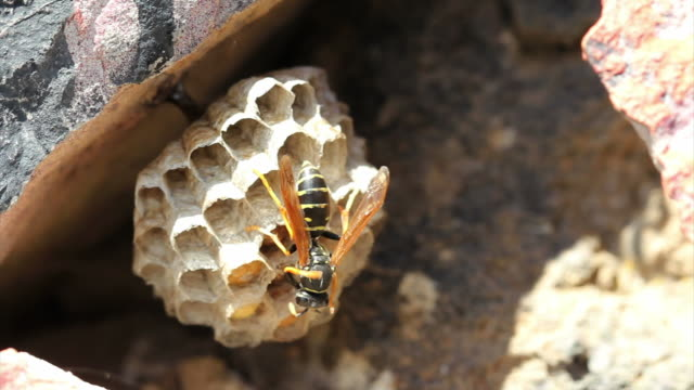 Wasp cooling wasp's nest HD