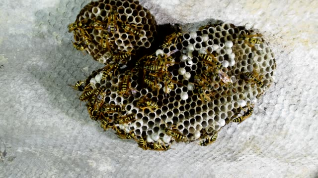 Wasp nest with wasps sitting on it. Wasps polist.