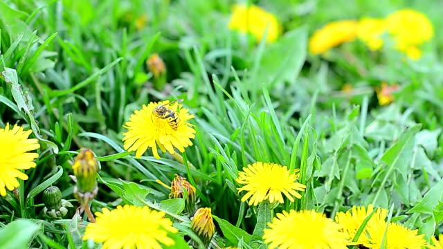 Wasp on a flower dandelion