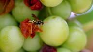 Wasp on grapes