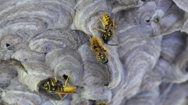 Wasp with bulding material at the mouth tools