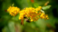 Wasp_On_Yellow_Flower_HD