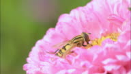 CU Wasps collecting nectar from pink China Asters flower / Uppsala, Uppland, Sweden