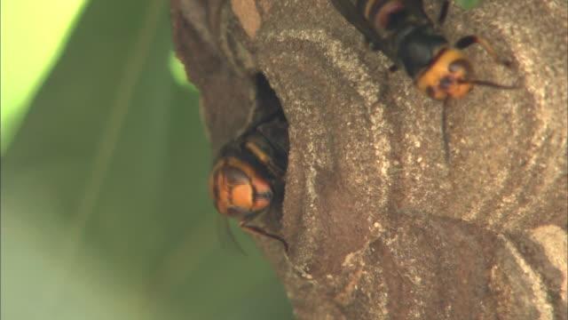Wasps crawl around their nest.