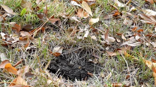 Wasps fly into their nest. Mink with an aspen nest. Underground wasps