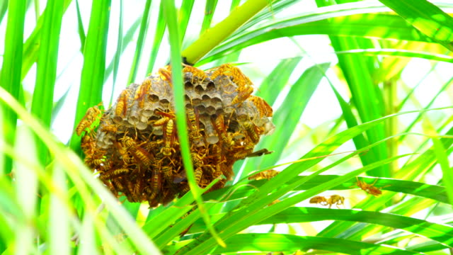 Wasps Hive in the palm tree - Polistes hebraeus