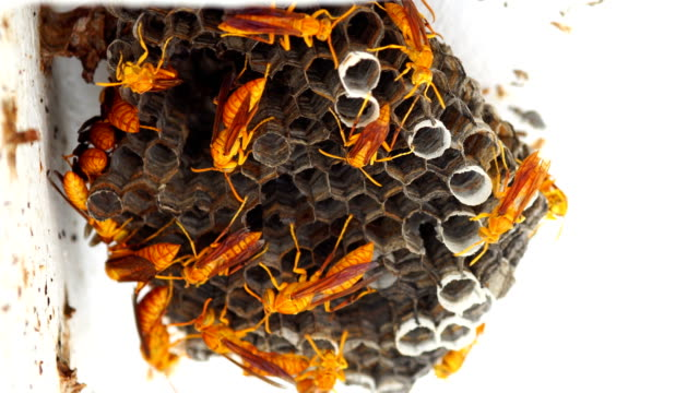 Wasps Hive in the roof - Polistes hebraeus