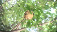 A wasps' nest hangs from a leafy tree.