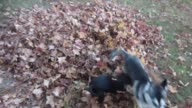 Watch as this ecstatic Husky puppy has the time of his life while jumping into a fresh pile of leaves Is there a better autumn feeling than that