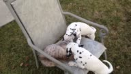 Watch as two adorable Dalmatian puppies test Squirt's patience while playing around in the family backyard Now that's cute