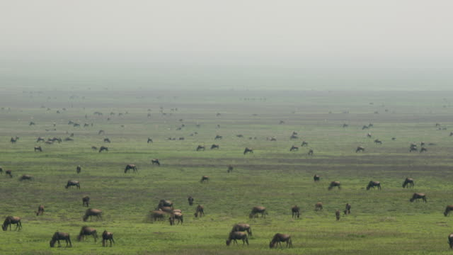 Watching wildebeest on safari