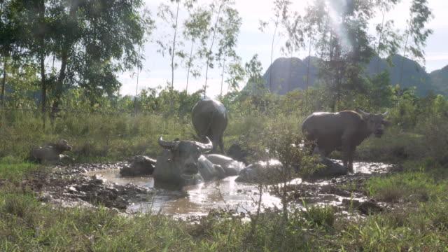 Wasserbüffel, die Abkühlung im Schlamm