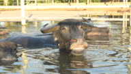 Water buffalo in small pond