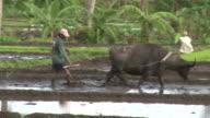 Water buffalo (Bubalus bubalis) pulls plough through rice field, Philippines, Dec 2009