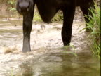 Water buffalo walks into stream and drinks