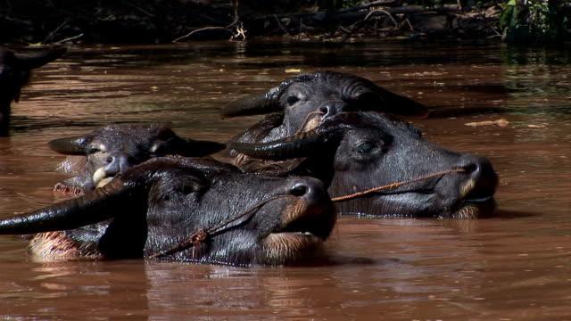 water buffalos 3