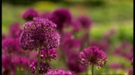 Water companies announce hosepipe bans across South East T03051124 / TX Wisley RHS Garden Close Shot of purple allium flowers