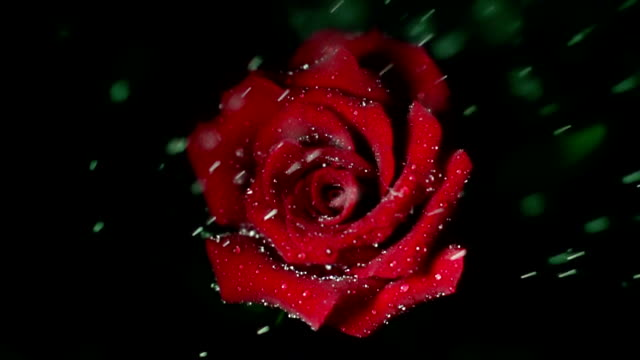 Water drop falling on red rose