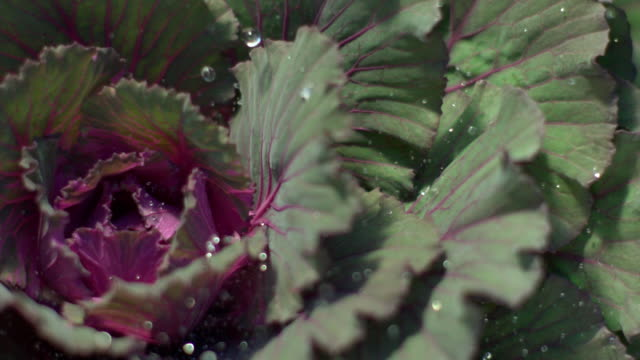 CU PAN SLO MO Water droplets raining on green and purple cabbage leaves / Morristown, New Jersey, USA