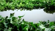 Water Hyacinth cover a river in Thailand
