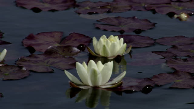Water lilies float in a pond near Kinross House. Available in HD.
