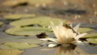 Water Lily and frog