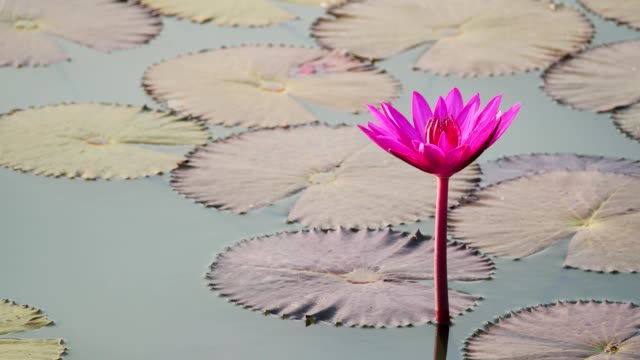Water lily blooming in pond at morning.