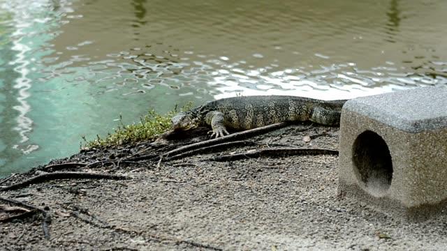 Water monitor naast de vijver