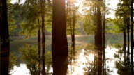 Water taxodium ascendens forest near sunset with reflections
