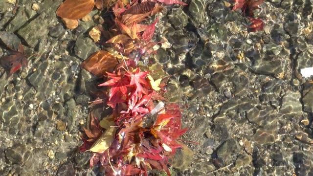 water druppelt rond esdoornblad, rode esdoorn bladeren in de herfst