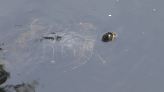Water turtle 1 - HD 30F