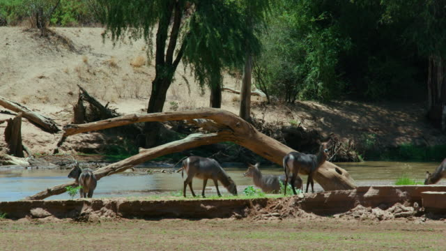 Waterbuck Grazing At Ewaso Nigiro River Samburu  Kenya  Africa