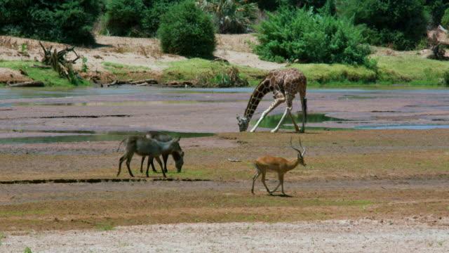 Waterbuck  Impala & Reticulated Giraffe At Ewaso Nigiro River Samburu  Kenya  Africa