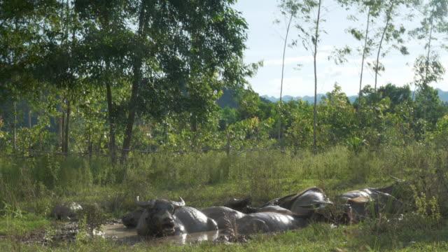 Wasserbüffel Schlamm Baden