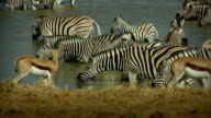 waterhole_zebra_antelopes