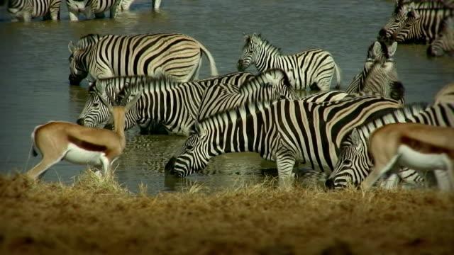 waterhole_zebra_antelopes