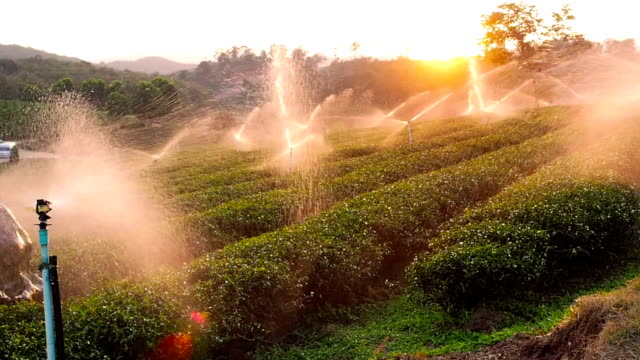 Watering Tea Plantations in pan shot
