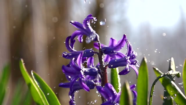 HD SUPER SLOW-MO: Watering The Flowers