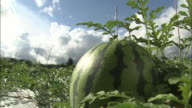 Watermelons ripen in a large field.