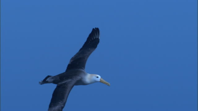 A Waved Albatross flies alone against a blue sky. Available in HD.