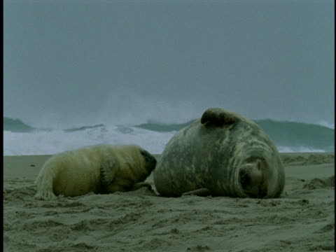 Waves crash along a shoreline as a grey seal pup nurses as its mother lies in the sand.