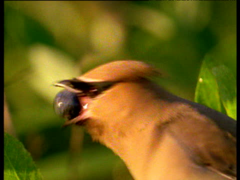 Waxwing struggles to swallow huge blueberry Florida.