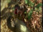 Weaver bird feeds its chicks at nest entrance