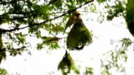 Weaver Bird on the nest